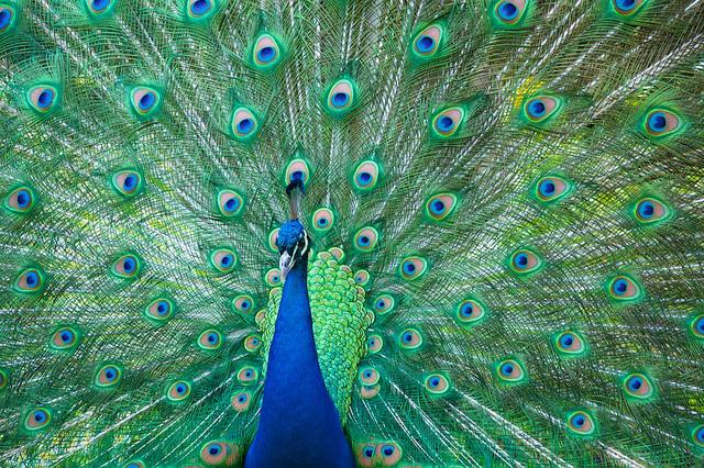 Fotos de pavos reales imagui - Fotos de un pavo real ...